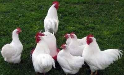 Hens of egg direction Loman White