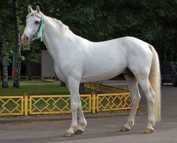 Horse breed Orlovsky trotter