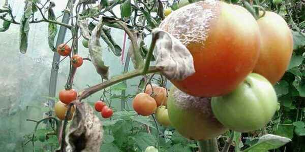 How and how to spray tomatoes after rain
