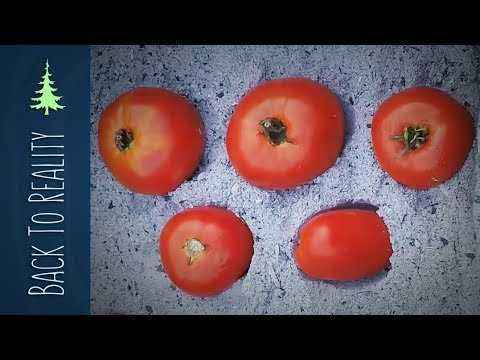 How and when is feeding of tomatoes with ash