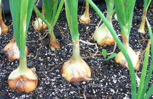 How and when to remove onions from the garden
