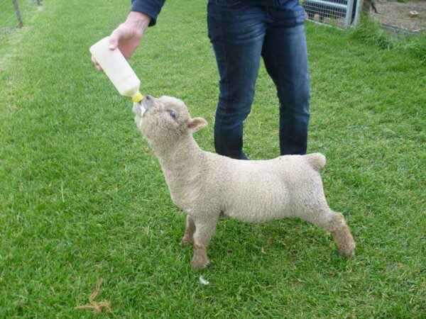 How can I feed a lamb on my own?