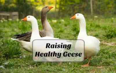 How goslings are bred and raised