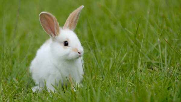 How important is the associated vaccine for rabbits