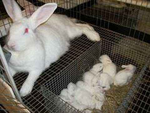 How is the pregnancy of rabbits