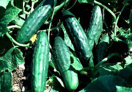 How many days do cucumber seeds usually sprout