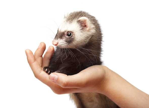 How many ferrets usually live