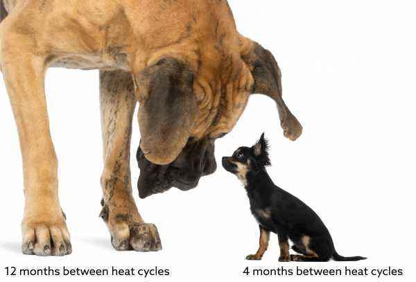How the estrus goes in heat and what you need to know about the mating process