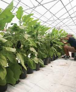 How to care for eggplant in a greenhouse