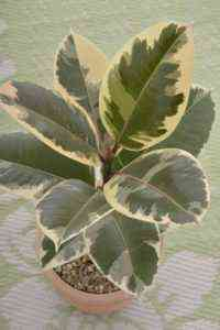 How to care for ficus tineke at home