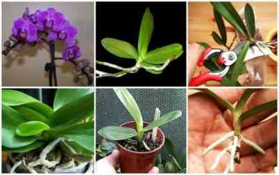 How to carry out the propagation of orchid flower stalk