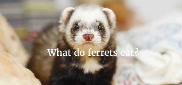 How to catch, tame, and how to feed a wild ferret