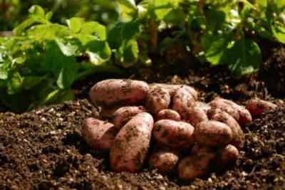 How to choose siderata for potatoes