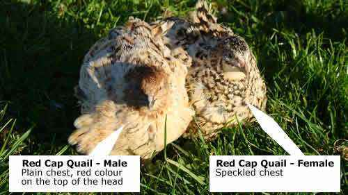 How to correctly determine the gender of quail
