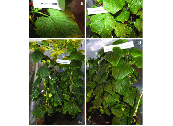 How to deal with aphids on cucumbers in a greenhouse