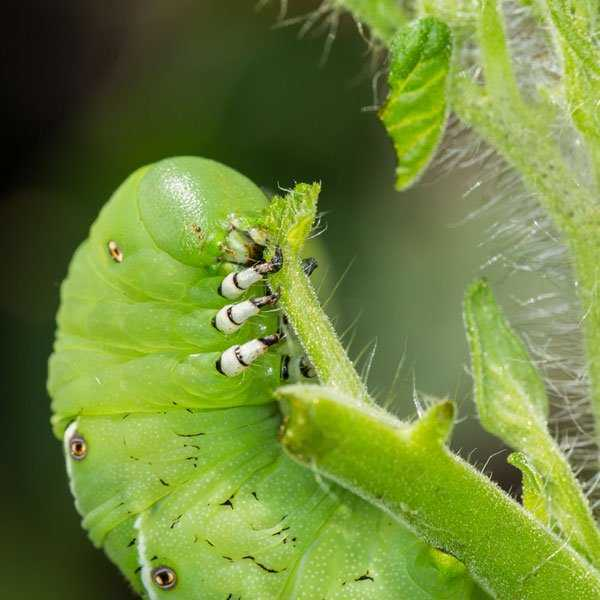 How to deal with pests of tomato seedlings