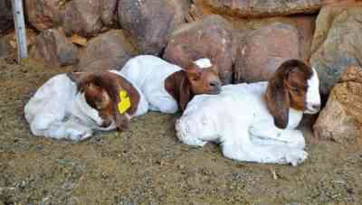 How to feed a goat immediately after lambing and what kind of lure to give to newborn kids