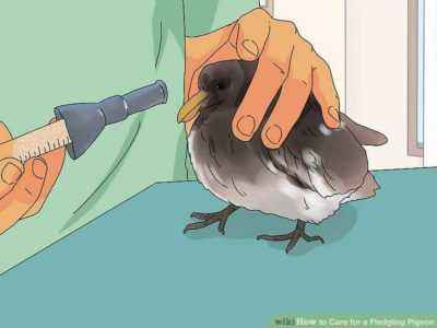 How to feed a pigeon chick at home