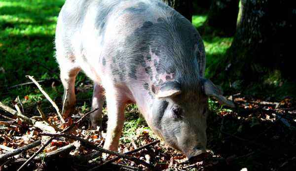 How to feed and maintain farm piglets in winter