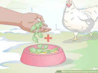 How to feed chickens in winter