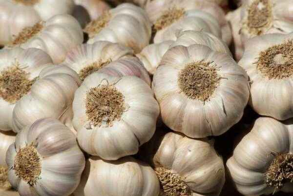 How to feed garlic for the winter