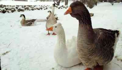 How to feed geese in winter