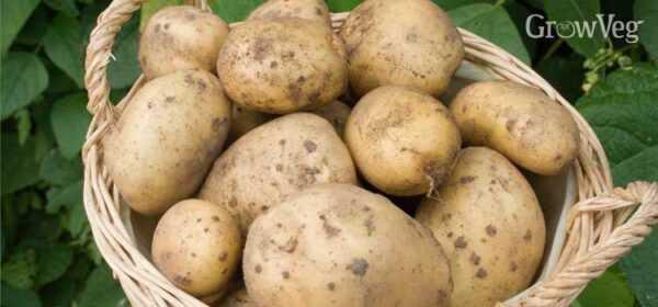 How to get a good potato crop
