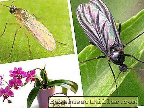 How to get rid of small midges on an orchid