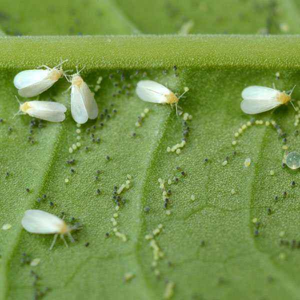 How to get rid of whiteflies on tomatoes in a greenhouse