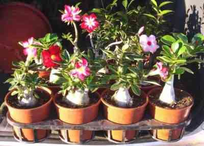 How to grow Adenium from seeds - a simple instruction