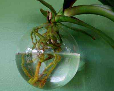 How to grow an orchid from the root