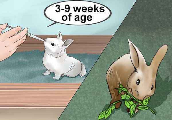 How to independently feed newborn rabbits without a rabbit mom