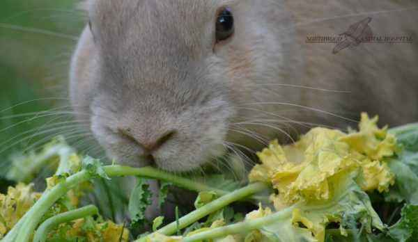 How to introduce beets and its tops to the rabbit diet