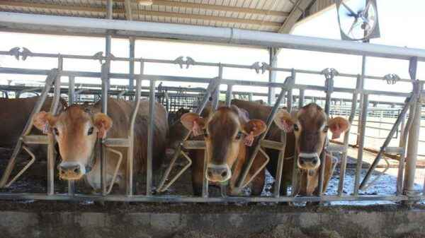 How to keep cows in the dry season