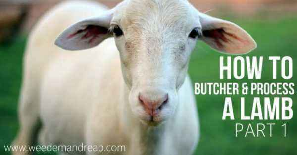 How to kill and butcher a ram