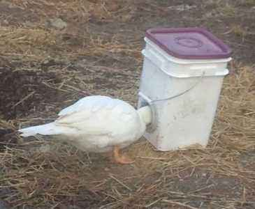 How to make a duck feeder