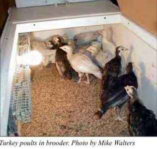 How to make a turkey brooder