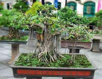 How to make bonsai from ficus Benjamin