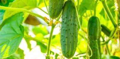 How to plant cucumbers in boiling water