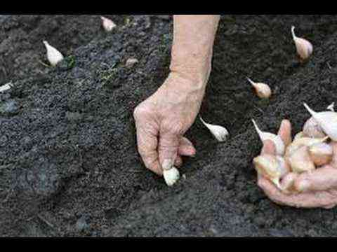 How to plant garlic for the winter