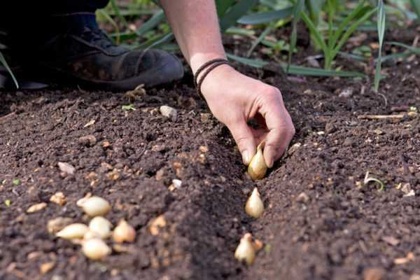 How to plant onion sets for the winter