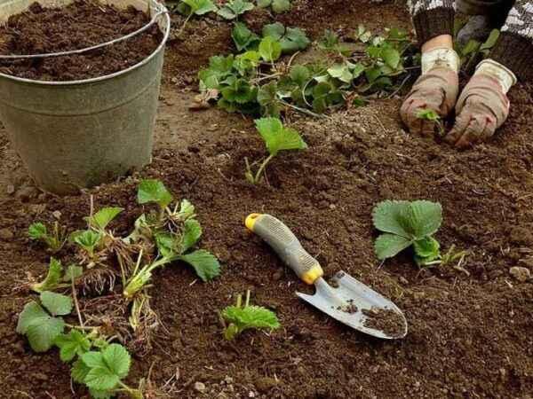 How to plant potatoes according to the method of Galina Kizima