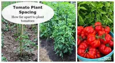 How to plant tomatoes in the open ground
