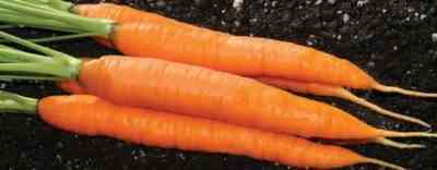 How to prepare a bed for carrots in spring