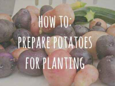 How to prepare potatoes before planting