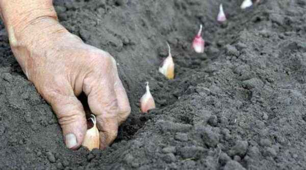 How to prepare the soil for garlic