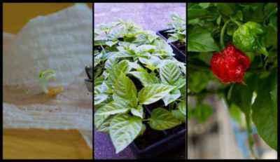 How to prevent the flowering of pepper seedlings