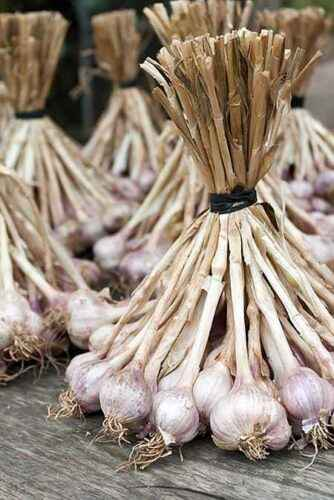How to remove garlic for storage