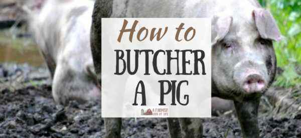 How to slaughter a pig
