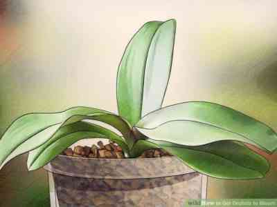 How to stimulate flowering in orchids